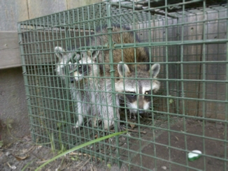 Raccon removal experts - New Orleans Louisiana