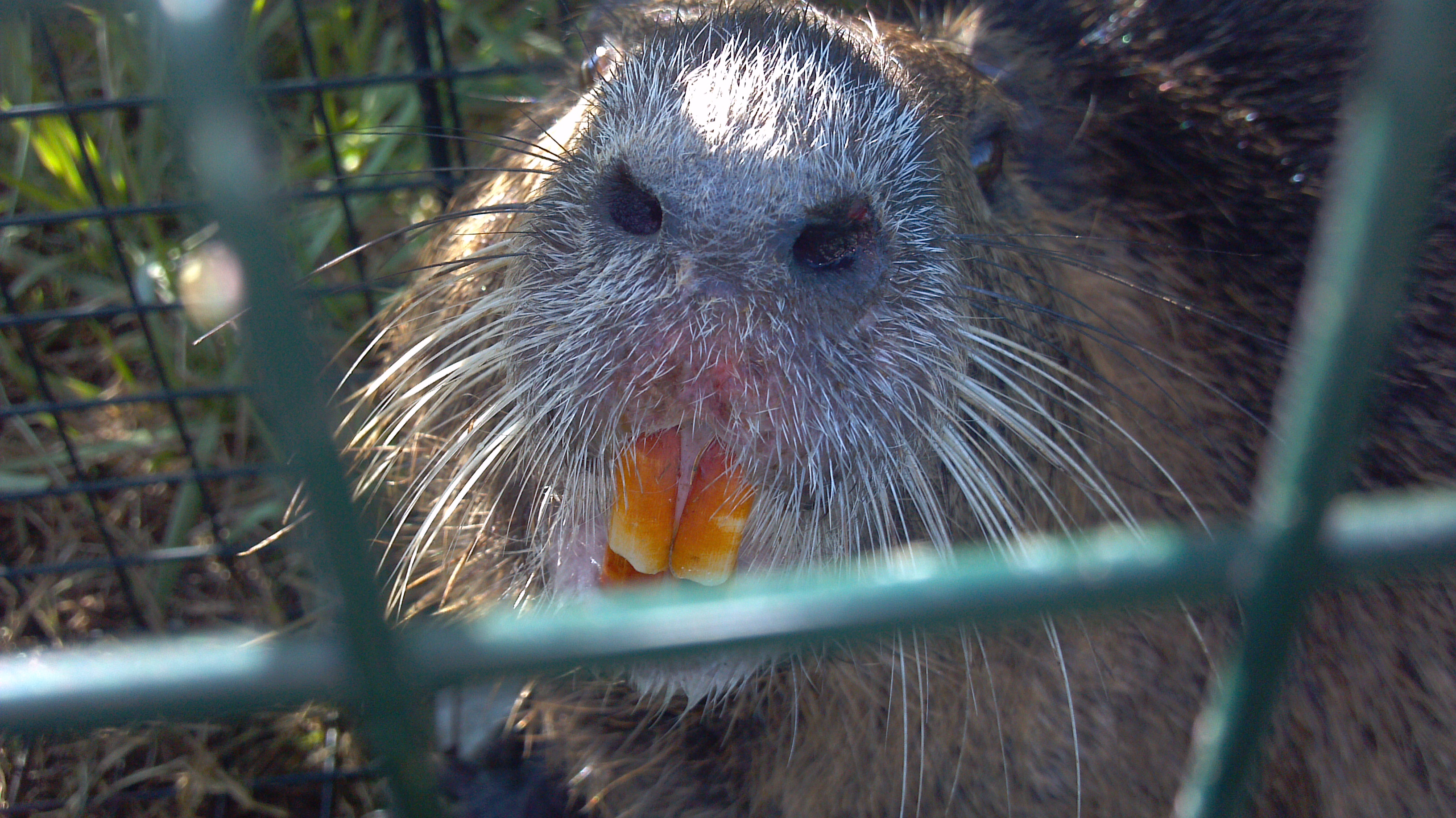 Nutria in cage - New Orleans Nutria