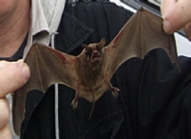 Bat Removal - New Orleans - Mandeville - Slidell