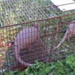 Two armadillos in the same trap!