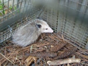 Louisiana Opossum