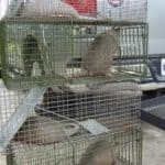 Trapped Armadillos
