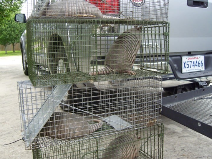 Trapped Armadillos