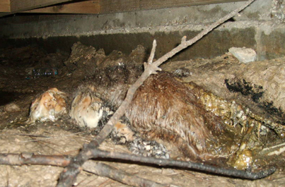 Dead animal attic insulation cleanup - This is nasty contaminated insulation