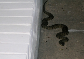 Snake on back porch
