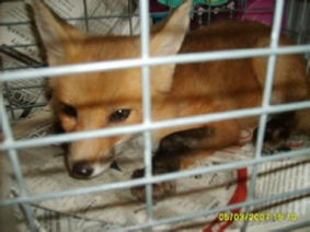 Fox removal - fox found on westbank