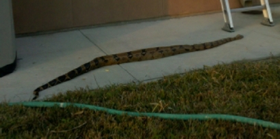 Snake found in Kenner!