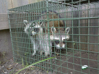 Raccon removal experts trap two raccoons at once - New Orleans Louisiana
