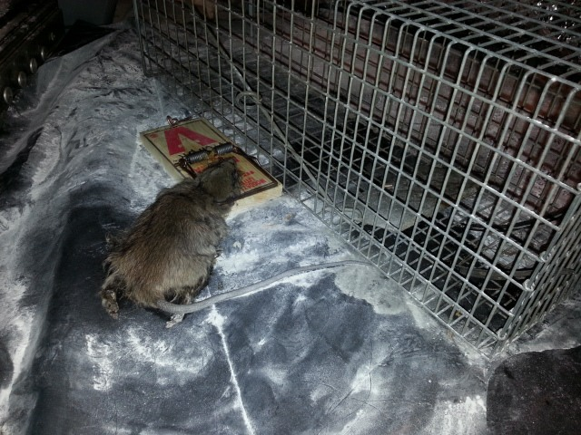 Rat Removal Images