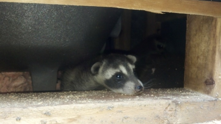 Raccoon Removal Images
